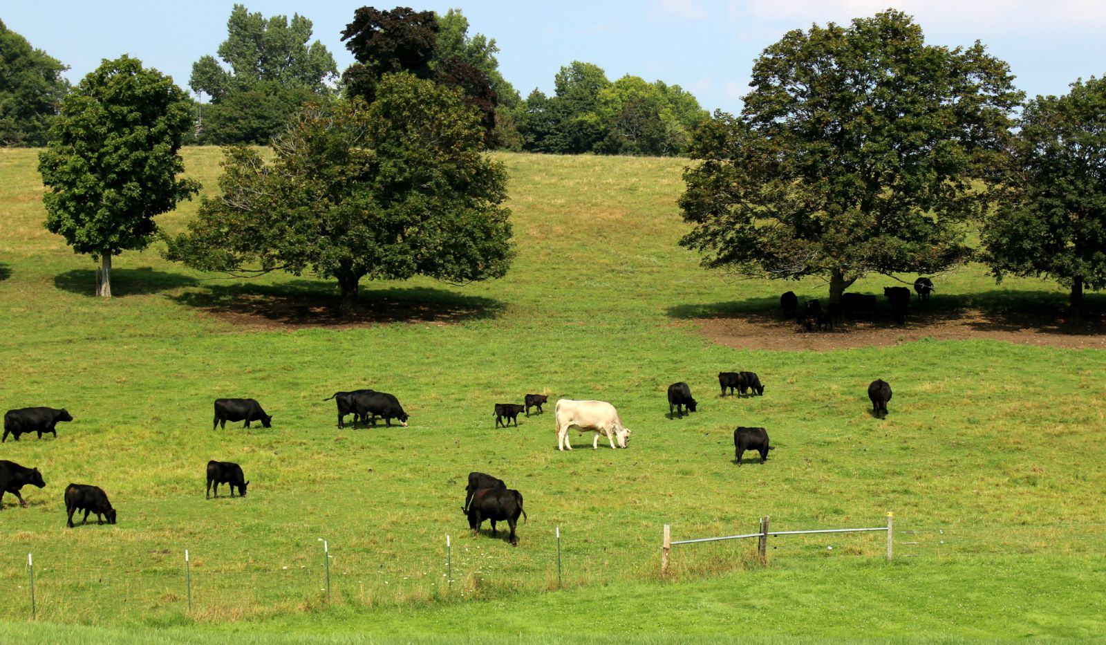 Black angus cattle and light brown cow grazing on Gibbet Hill