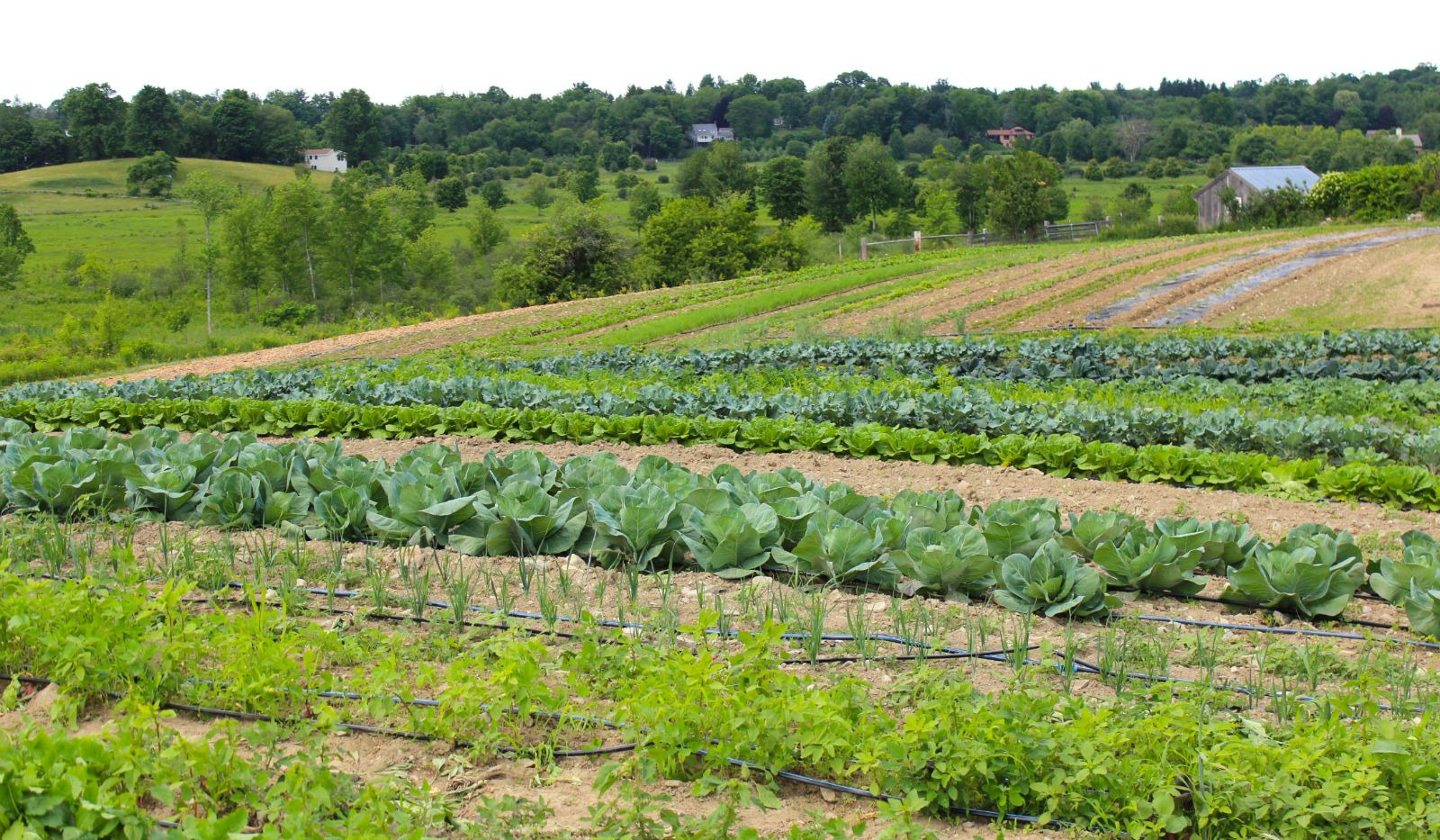 vegetables growing in rows on farm field