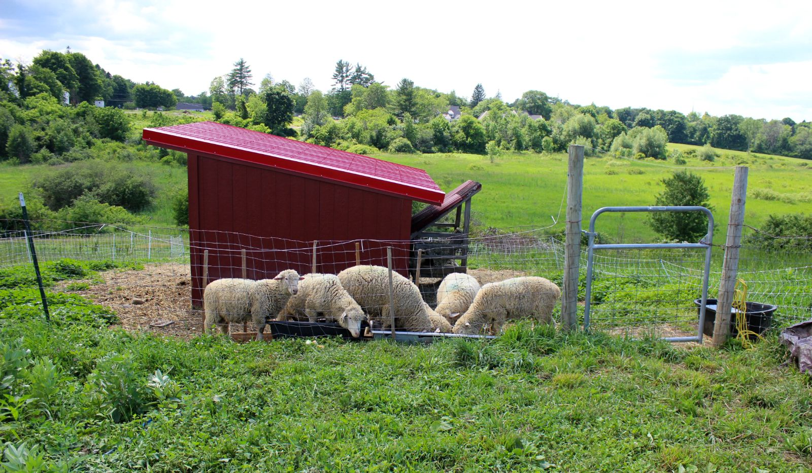 6 Lambs eating out of trough.