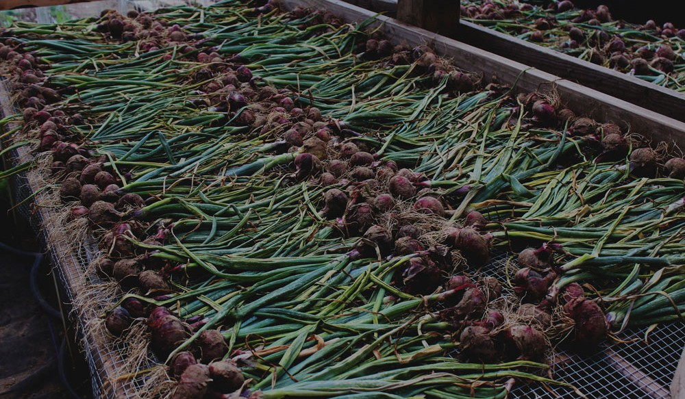 Red onions drying on bed in green house